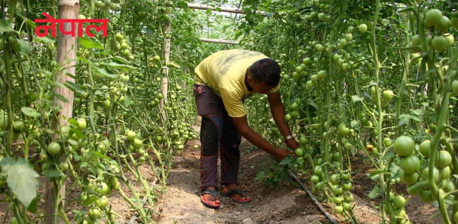 ५० करोडको कृषि अनुदानमा स्थानीय सरकारलाई 'बाइपास'