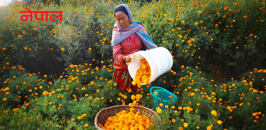 फूलखेतीमा ४० वर्ष बिताएकी सानुमैया जसले 'खिसी' देखि 'खुसी' सम्म भोगिन् [भिडियो कथा]
