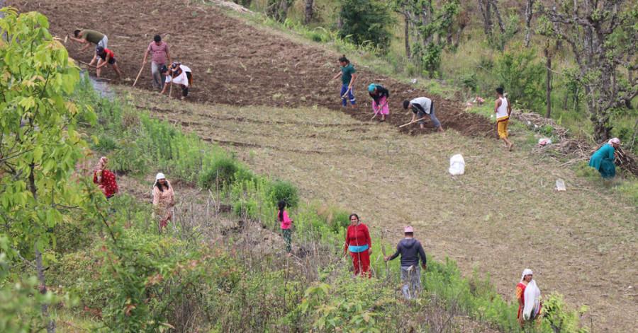 कोरोना भयले गाउँ पसेकाहरूलाई कृषिमै अड्याउने रणनीति